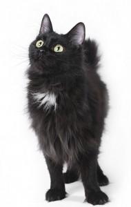 Black kurilian bobtail.